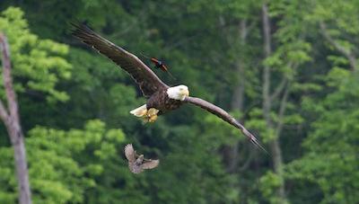 Bald eagle and Red-winged blackbird. | Rick Kedenburg photo