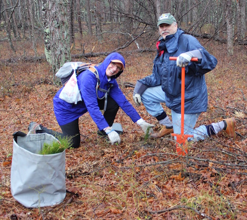 Hikers Jacqueline Errico and Danny Tichio help the Central Pine Barrens Commission replant pitch pines on April 20 in an area of Sears Bellows Park devastated by the Southern Pine Beetle.
