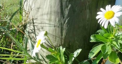 Daisies that have left Montauk...