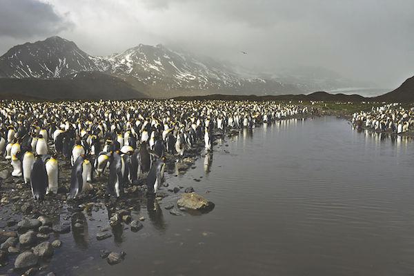 "Camille Seaman's ""King Penguins at Fortuna Bay, South Georgia, 2009"""