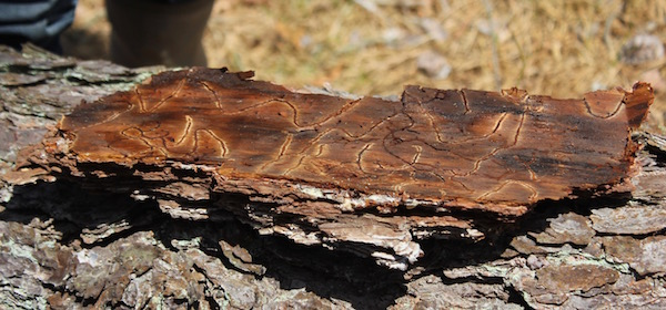 """Galleries"" in the cork cambium on the back side of the bark of a tree, a sure sign of southern pine beetle infestation."
