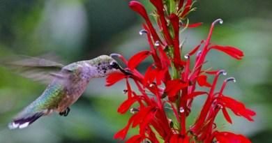 This ruby-throated hummingbird can't resist cardinal flower (Lobelia cardinalis), a native perennial.