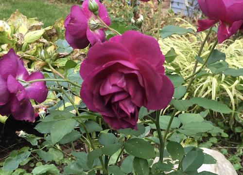 Floribunda 'Ebb Tide' is a prolific bloomer that makes a stunning centerpiece in the garden.