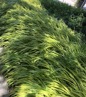Japanese forest grass 'Aureola' practically shimmers in the dappled shade.