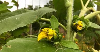 Rainy Day Sunflowers