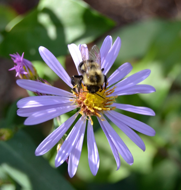 Smooth aster is as lovely as any cultivated variety available.