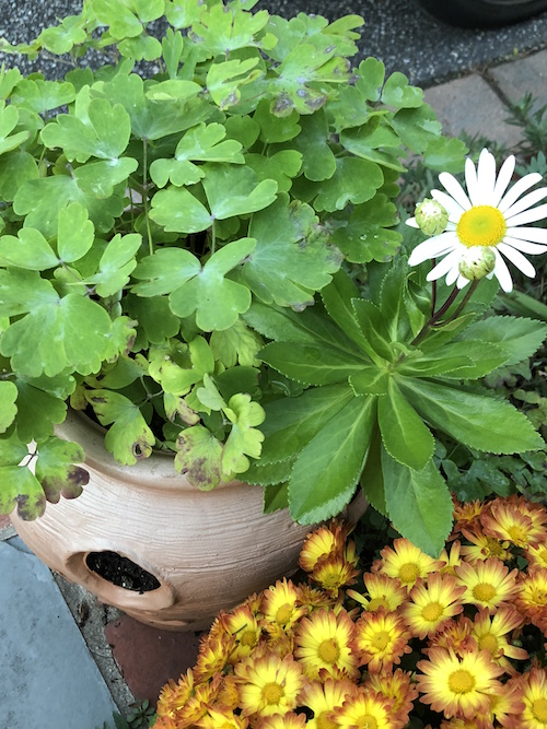 This strawberry jar used to house annuals, but columbine (left) and Montauk daisy moved in and are growing side by side in the most attractive way.