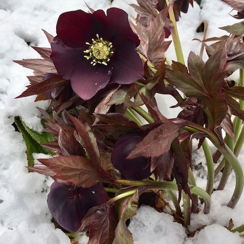 Hellebores add much-needed winter interest to the garden— even snow can't smother their beauty | Erika Shank photo