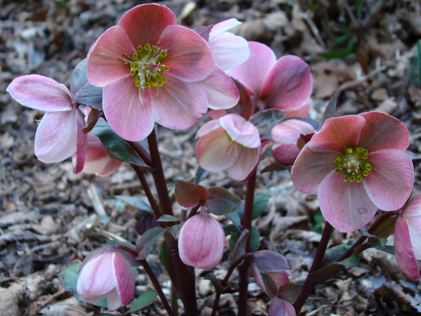 'HGC Pink Frost' is an early blooming hellebore | Erika Shank photo