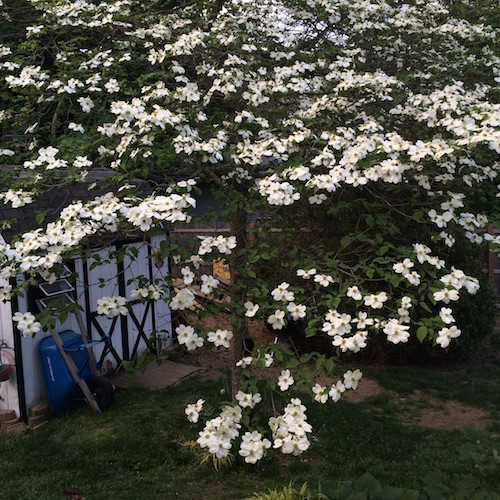 Despite being located in a compacted site at the base of downspout, this old flowering dogwood continues to put on a worthwhile spring show. |   Sandra Vultaggio photo