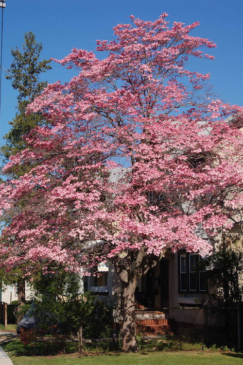 This pink flowering dogwood is native to the eastern United States. | Vincent Simeone photo