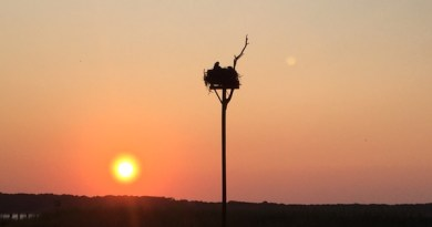 Osprey wake-up call, New Suffolk