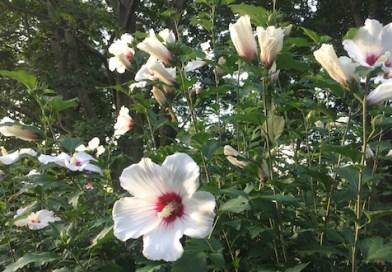 Sharon's Roses