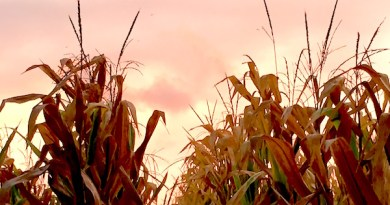 afterstorm in the corn, Cutchogue