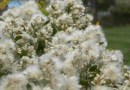 Eastern baccharis grows in wetland environments, which makes it ideal for coastal gardens. Its flowers take on the appearance of cotton balls over time (Mina Vescera photo).