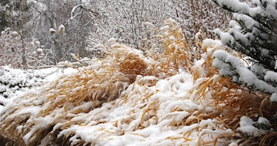 This photo of Japanese forest grass is pretty enough to grace the front of a holiday card.