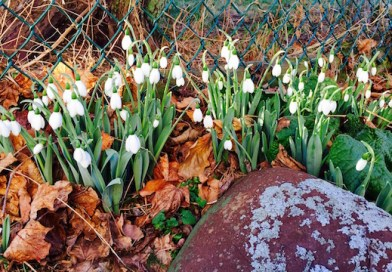 Snowdrops start a January riot