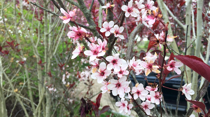 Cherry Plum Flowers