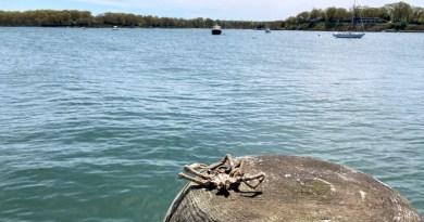 crab, Dering Harbor