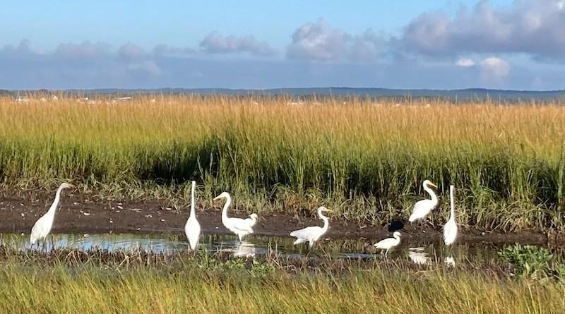 egrets_dune_road