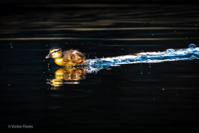 A newly born duckling runs across the water on the Wapping canal