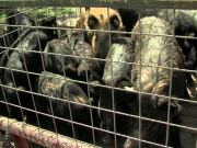 animal rights activists against cages for pigs