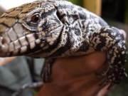 Argentine Tegu lizard in the USA