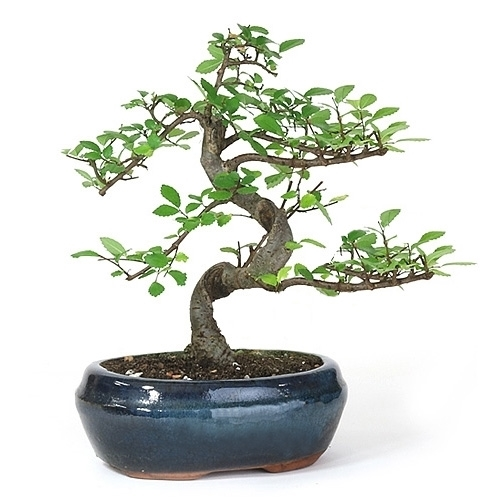 Mini Lucky Bamboo