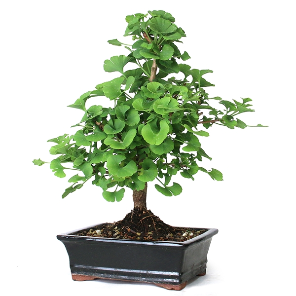 Bonsai Ginkgo Bonsai Tree From