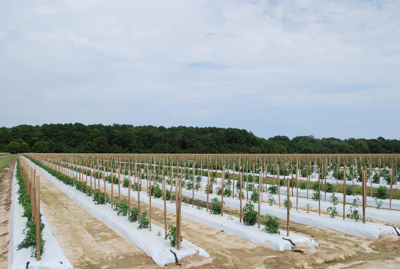 Image result for tomato field eastern shore va