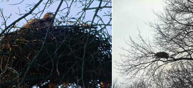 Eastfallslocal nest collage hawks