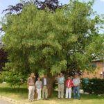Hedge End Laburnum tree