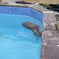 Deer saved from drowning in Hedge End pool