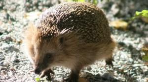 HedgehogNew