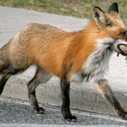 A fox hunting in the streets of London. Pic: Ducklover Bonnie