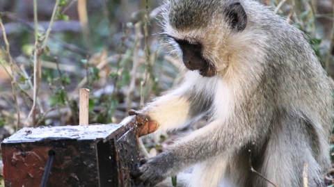 Monkeys learning watching others. Pic: Erica van de Waal