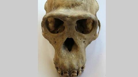 Chimp skull. Pic: Metropolitan Police