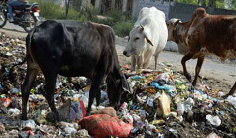 Cows on waste dump, Delhi. pic Shadab Ahmad Moizee
