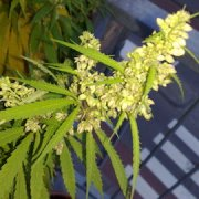 A man has been arrested after 12 cannabis plants were discovered in Tower Hamlets Pic: Rikva