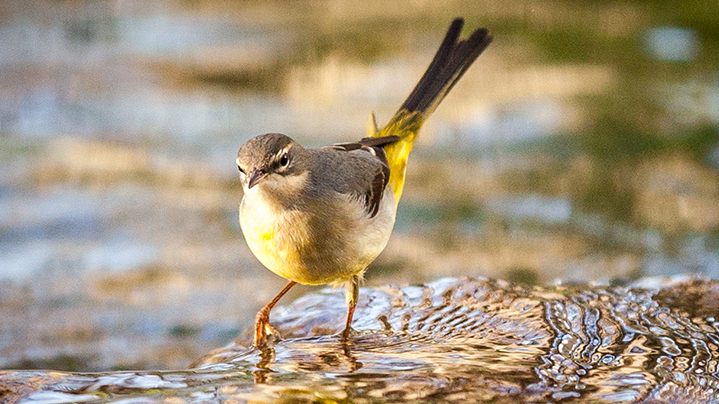 Wagtail in Water photo taken by Christopher Andreou. Pic: Canary Wharf Wildlife Photography Exhibition