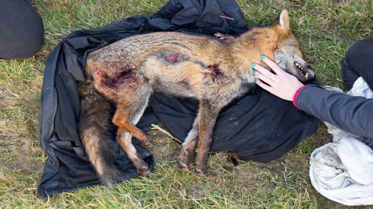 A dead fox that showed signs of being attacked by hounds. Pic: Matthew Kirby
