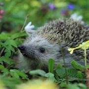Hedgehog among plants