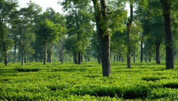 Assam: Allow vehicles carrying green leaves during curfew, urge tea planters