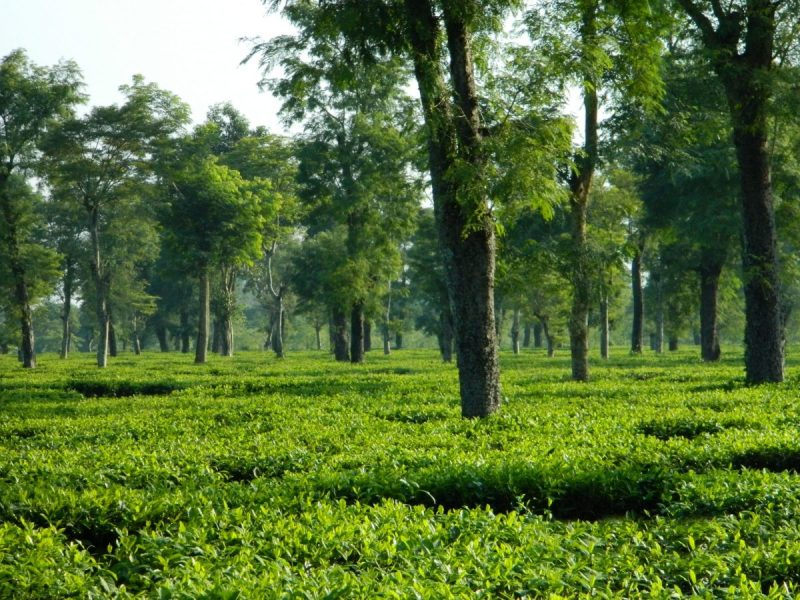 mjunction to organise special e-auction of tea in Assam