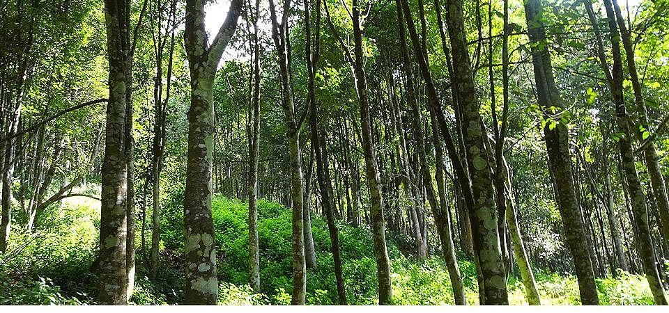 agarwood tripura