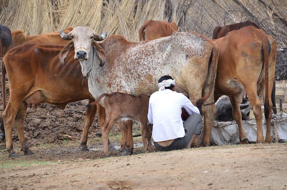 Closet Hindutva Narrative behind Amul vs PETA issue