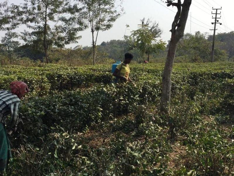 After last year's lockdown, Assam tea industry now reels under deficit rains