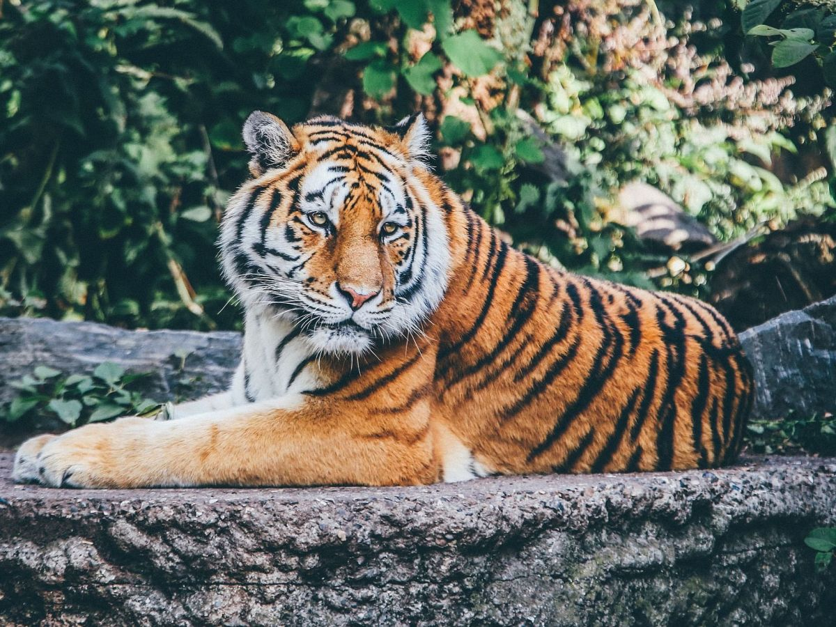 Tiger dies after being hit by stray bullet fired by forest guards in Assam