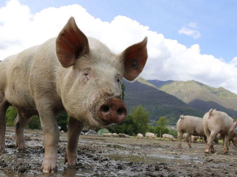 Tripura African Swine Flu