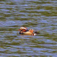 After Assam, the spectacular Mandarin Duck makes first appearance in Arunachal Pradesh